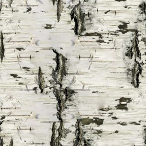 Birch Bark 26