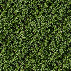 Hedge 25