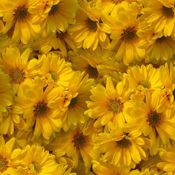 Yellow Daises 22