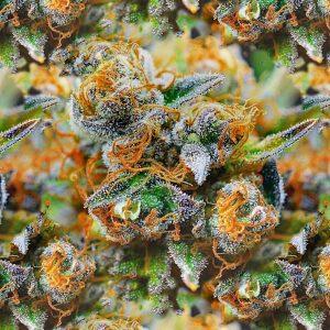 Tangerine Kush Buds