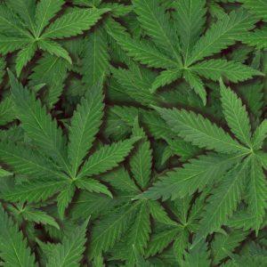 Ganja Leaves