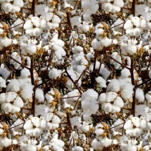 Cotton Forever