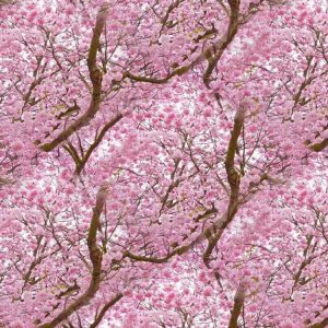 Cherry Blossoms 22