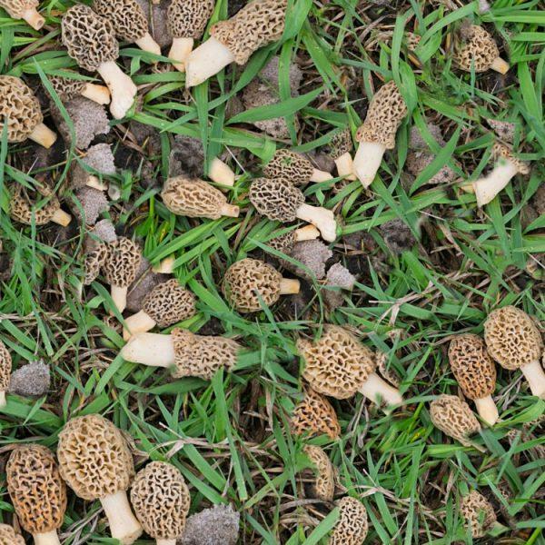 Morel Mushrooms 22