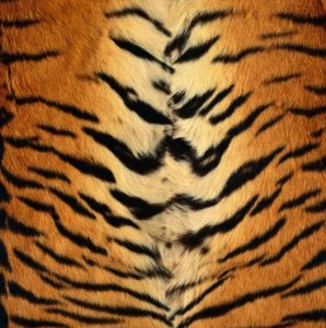 Tiger Stripes 16x48