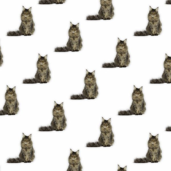 Maine Coon 22
