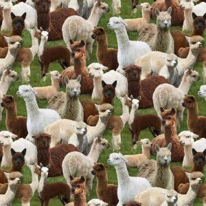 Llama Cria Herd