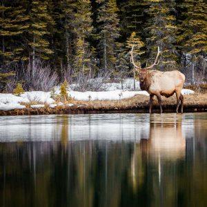 Elk 23