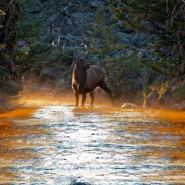 Elk 22