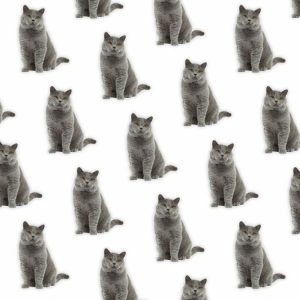 British Shorthair 24