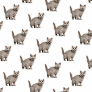 British Shorthair 22