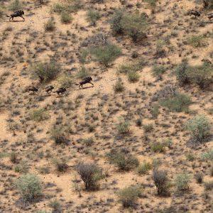 African Wildebeest Camo