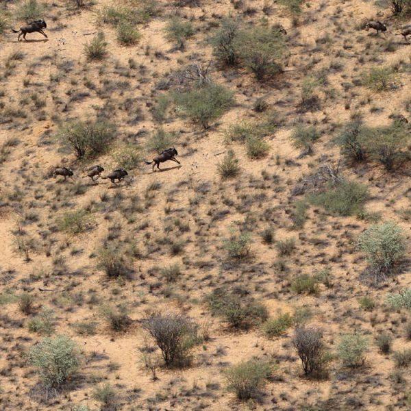 African Wildebeest Camouflage