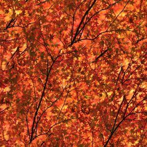 Autumnal Blaze 23