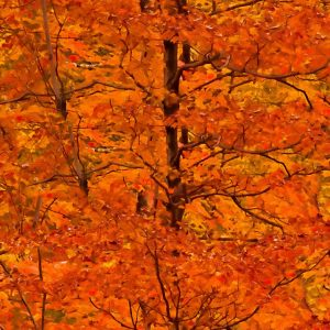Autumnal Blaze 24