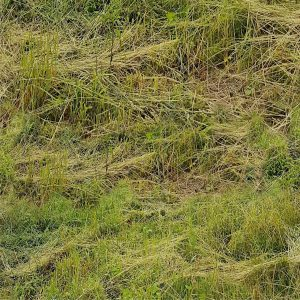 Live Straw Grass