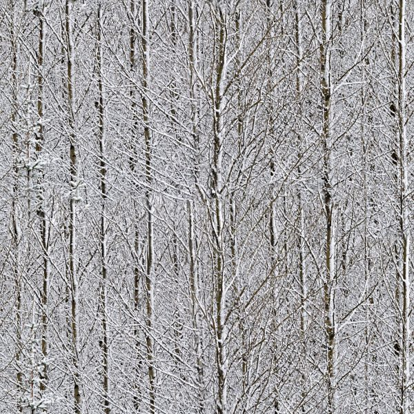 Birches Snow Camouflage