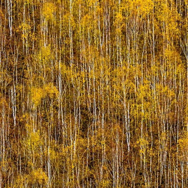 Autum-Birch-Forest-thumb