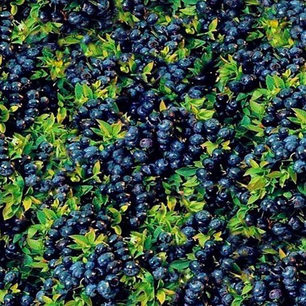 Blueberry-Bush-thumb