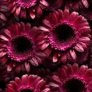Dark-Pink-Gerbera-Flowers-thumb