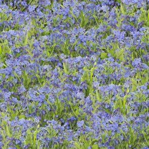 Field-of-Forget-Me-Not-Flowers-thumb