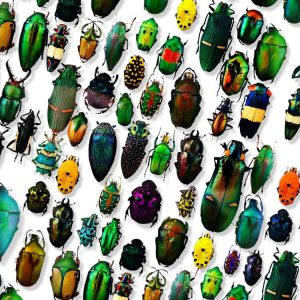 Iridescent-Beetles-23-thumb
