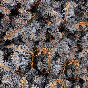 Gray Fir Tree Branches