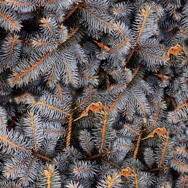 Gray Fir Tree Branches