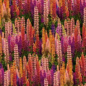 Russel Lupine Flowers