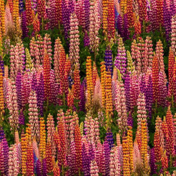 Russel Lupine Flowers