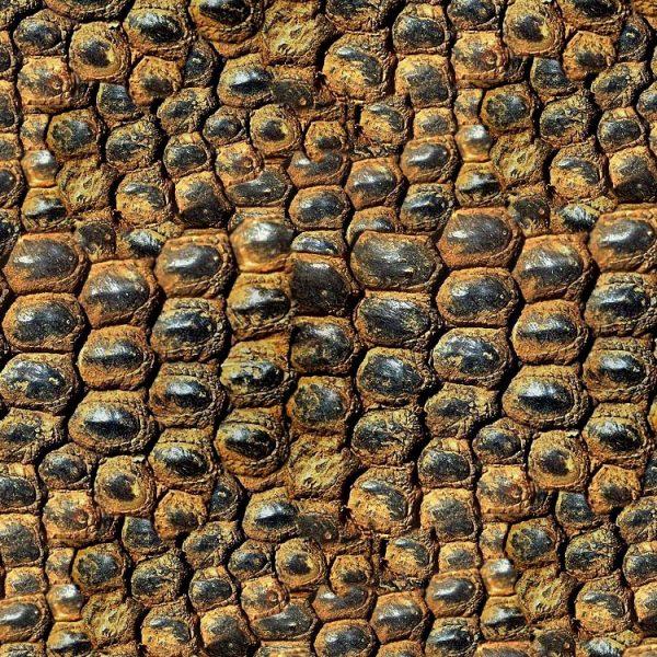 Komodo Dragon Scales 23 thumb