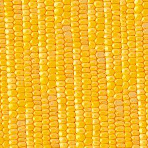 Sweet Corn 23