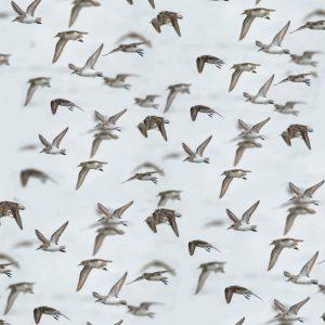 Flock of Birds 22