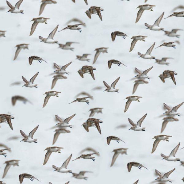 Flock of Birds thumb