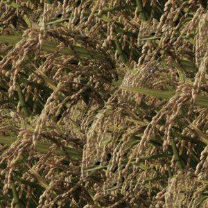 Rice Field Blind